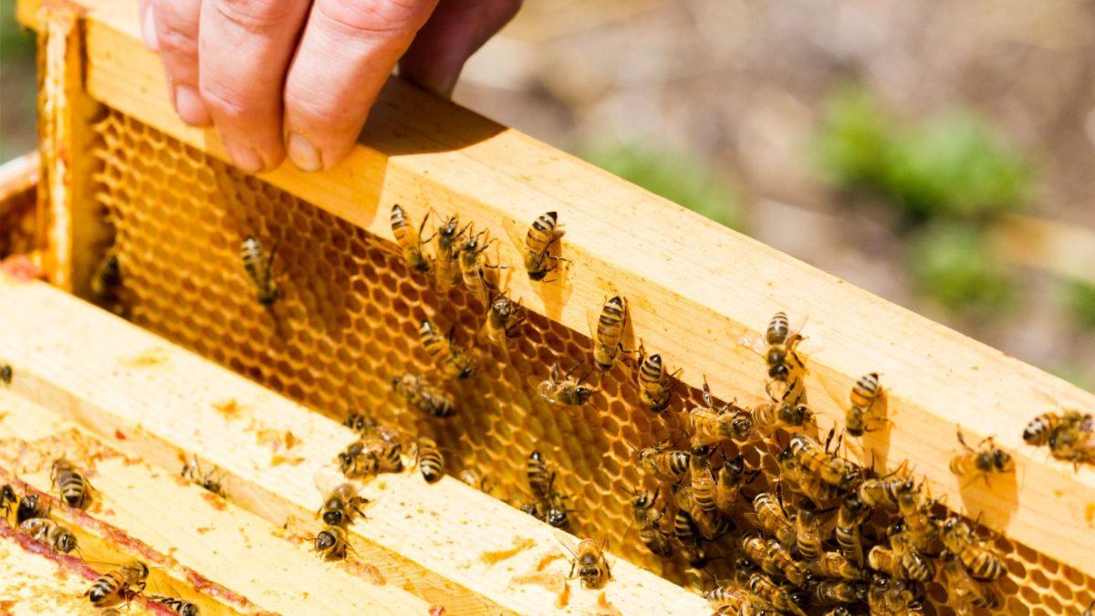 La risoluzione in merito alle problematiche del settore apicoltura approvata dalla Commissione Agricoltura del Senato